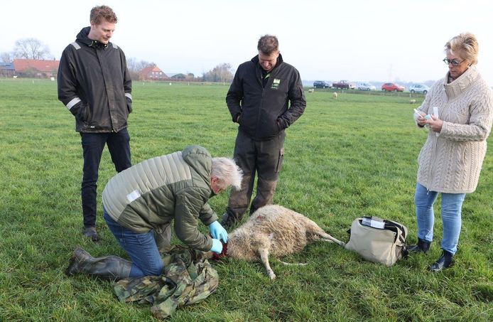 De schapenhouder vond vijf van zijn dieren dood in een wei in Rosmalen. Dertien andere schapen zijn gewond.