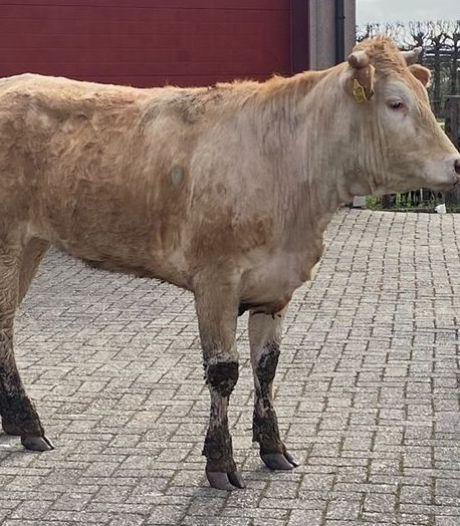 Ontsnapte koe wil de A27 bij Nieuwendijk oplopen en houdt vier politieteams bezig