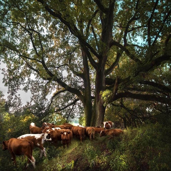 Koeien in een Twents landschap, ergens rond Enschede. Foto: Saskia Boelsums