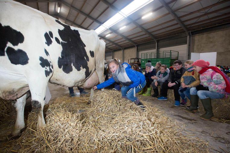 Een meisje doet een schuchtere poging om een koe te melken.