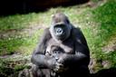 Moeder Gyasi met haar zoontje, dat zaterdagmiddag eindelijk een naam kreeg. Kiango is de  eerste nakomeling van gorillabaas Bao Bao.