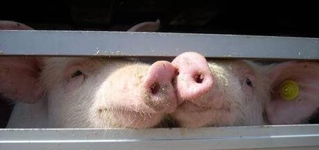 Wakker Dier: Dichte veewagen verbergt dierenleed