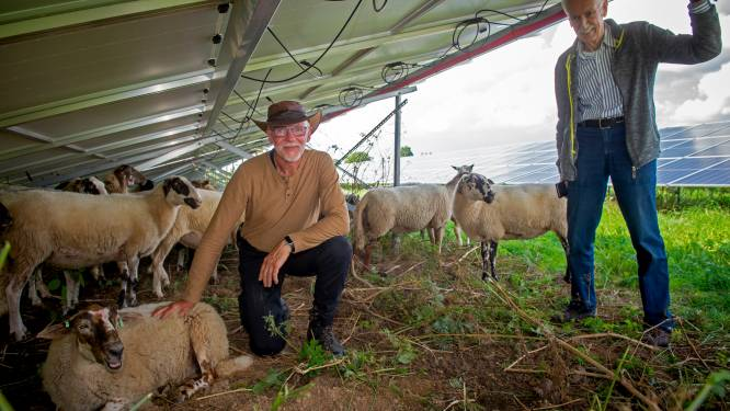 Brummense schapen voelen zich helemaal thuis tussen ruim 6000 zonnepanelen: 'Dit is toch een mooi gezicht?'
