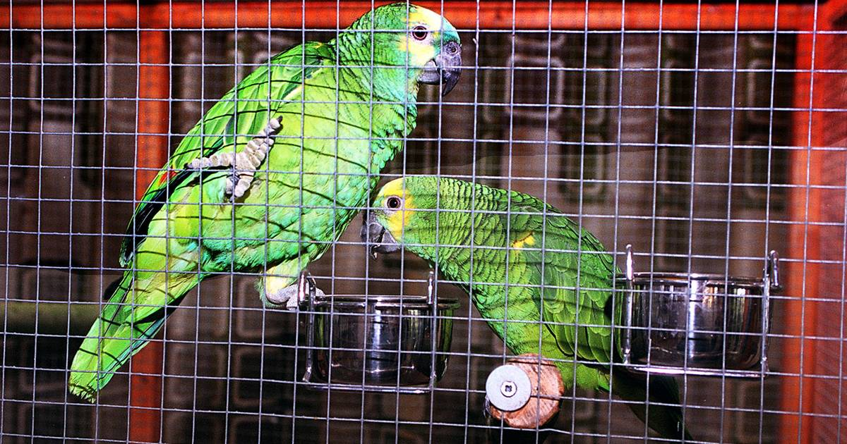 Fors meer mensen besmet met papegaaienziekte   Binnenland   ed.nl - Eindhovens Dagblad