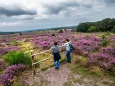 Het heideseizoen is geopend: polonaise lopen in paarse paradijsjes