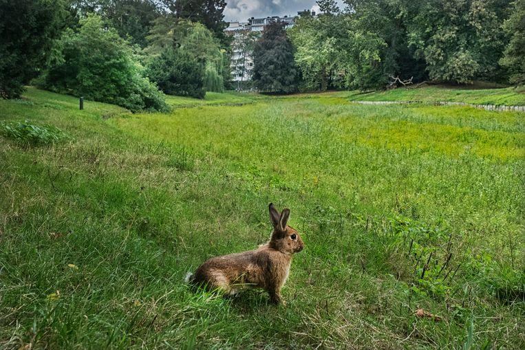 In het Stadspark kom je geregeld konijnen tegen. Ze worden er gedumpt door hun baasjes, en overleven er meestal geen week. Beeld Tim Dirven
