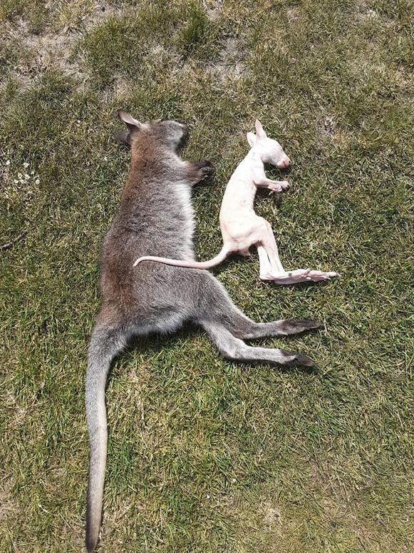 Twee getroffen kangoeroes.