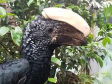 Neushoornvogel krijgt 3D-geprinte hoorn in Texel Zoo