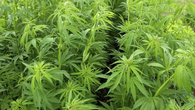 Marihuana doodt kankercellen