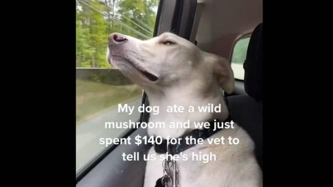 Un chien défoncé à cause d'un champignon hallucinogène fait sensation sur TikTok