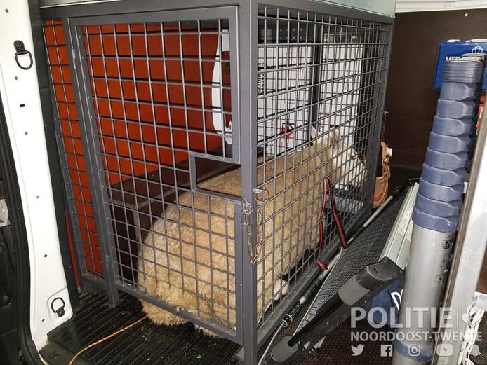 Het gevangen schaap in beeld.