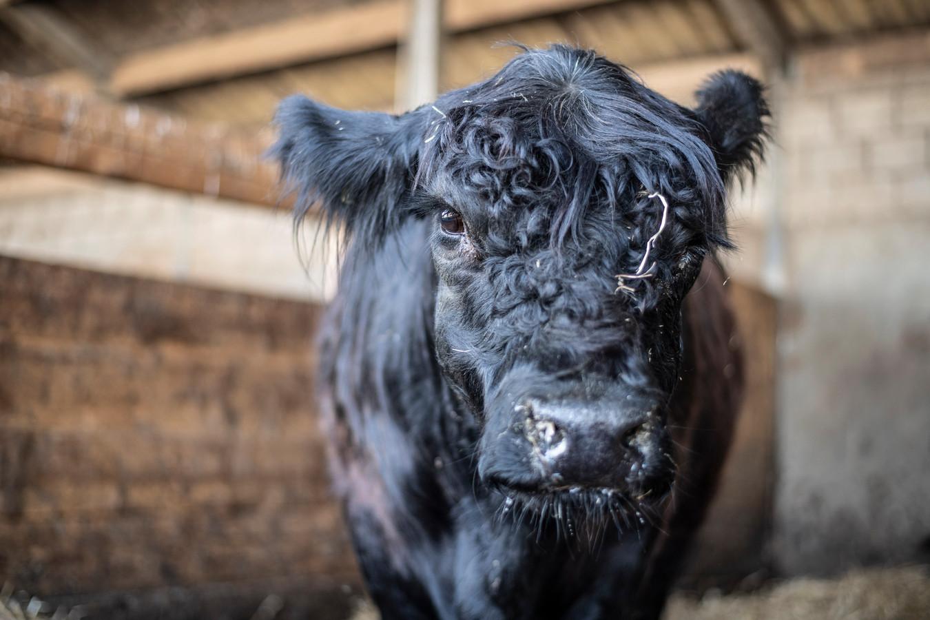 Koe Leonarda 12 spoelde aan in Escharen, en staat nu weer hooi te eten in een droge stal thuis in Echt.