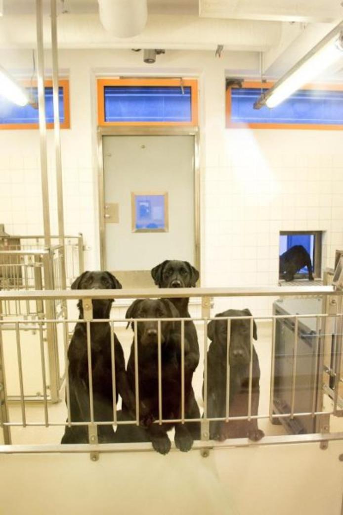 Labradors die door de universiteit zijn gebruikt bij een eerdere dierproef