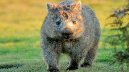 Mysterie ontrafeld: onderzoekers weten eindelijk hoe wombats kubusvormige uitwerpselen produceren