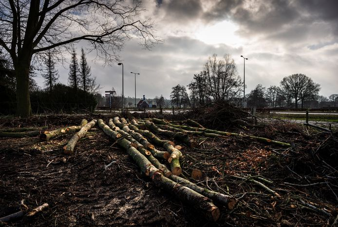 De beuken op landgoed Jordaanshoeve waren afgestorven en zijn afgelopen week allemaal gekapt.