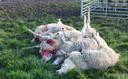 De schapenhouder vond eerder vijf van zijn dieren dood in een wei in Rosmalen. Zo'n vijftien andere schapen zijn gewond.