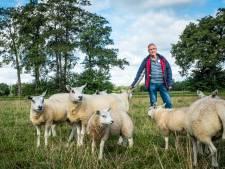 Wolven hebben smaak te pakken in Epe: ditmaal leggen elf schapen van Jan Willem Lagerweij het loodje