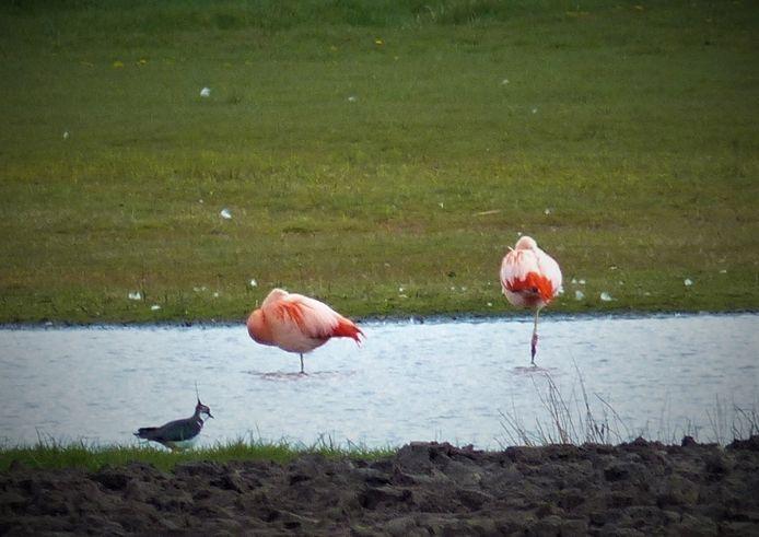 Flamingo's in Noordijk.
