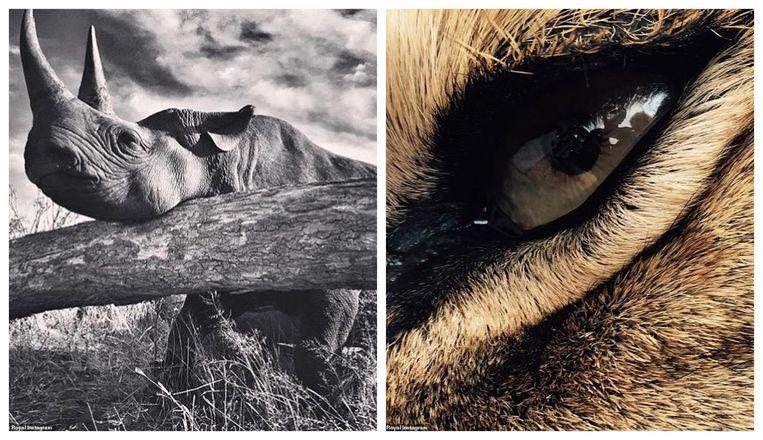 De neushoorn en de leeuw op de foto's waren beiden verdoofd.