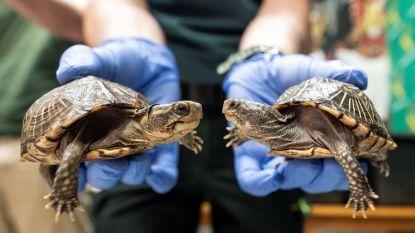 """""""Grootste illegale schildpaddenkwekerij van Europa"""" ontdekt en gesloten op Mallorca"""