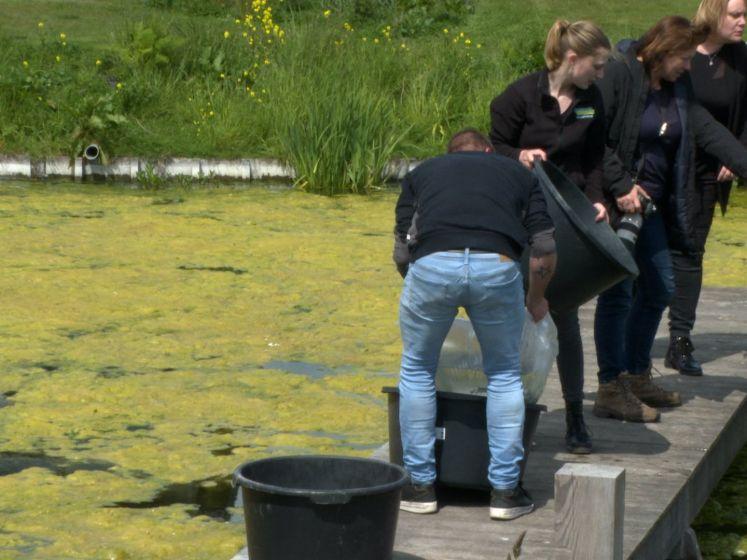 Vissen maken einde aan muggenoverlast in Kamperland