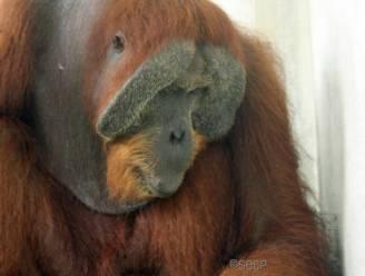 Bedreigde orang-oetan overleeft als bij wonder 24 kogels in lichaam