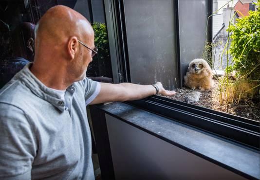 In de bloembak van het appartement van de Nederlandse Jos Baart (64), pal in het centrum van Geel, woonde enkele weken een 'oehoe-familie'.