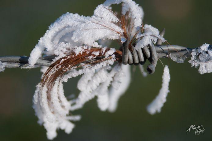 De sneeuw blijft in de Uiterwaarden in Brummen niet alleen op de grond liggen. Dankzij de koeienharen krijgt ook het prikkeldraad een wit laagje.