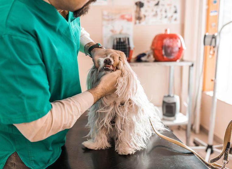 Een verwaarloosde hond bij de dierenarts. Het centrum Baas&Beest moet voorkomen dat financiële problemen tot dergelijke situaties leiden.  Beeld Getty Images