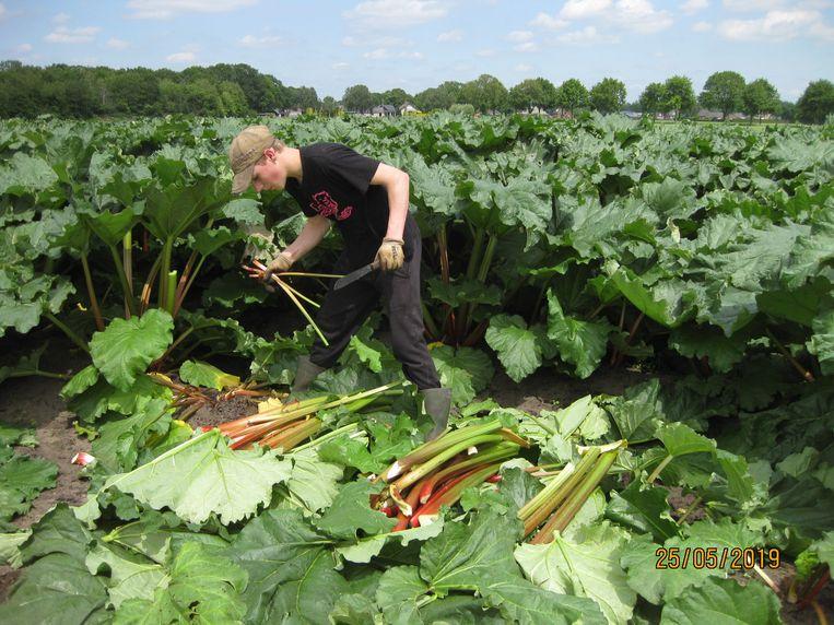 Het oogsten is mooi, maar zwaar werk. Beeld