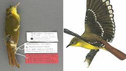 Wetenschappers zoeken 40 jaar naar vogel... die nooit bestaan heeft