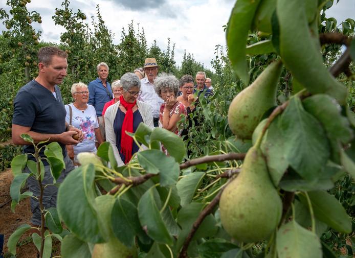 De Betuwse peren zijn dit jaar kleiner dan normaal.