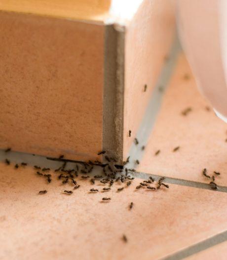 Voorkom dat mieren je huis binnendringen met deze tips