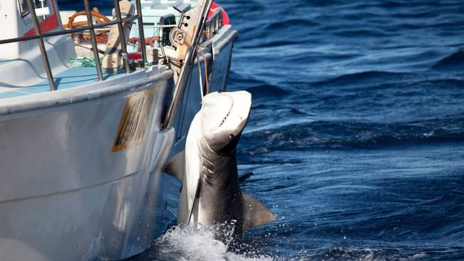 172 haaien gevangen in Australië voor controversieel programma