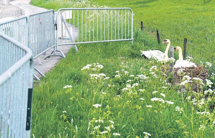 In Oud-Alblas is een hek om een broedende zwaan gezet.