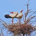 De jonge ooievaars zijn net geen twee jaar oud. Ze broedden op een nest in een dode spar.