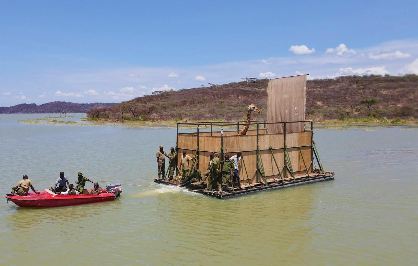 Een bedreigde Rotschildgiraf wordt op een speciale boot, de GiRaft, van het ondergelopen eiland Longicharo naar een reservaat op het vasteland gebracht.