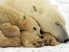 Les ours polaires 30% moins nombreux en 2050