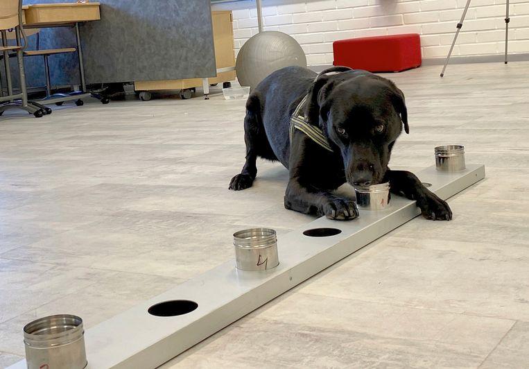 Snuffelhond Miina, tijdens een training om corona bij mensen op te sporen. Beeld Attila Cser/ Reuters