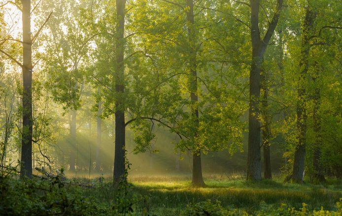 De bossen bij Gerwen. Nuenen en de provincie gaan onderzoeken wat het kost om hier een weg doorheen aan te leggen en wat dat betekent voor de natuur.