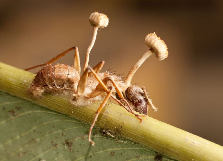 De paddestoel Cordyceps met zijn gastheer de mier. Beeld TRBEELD