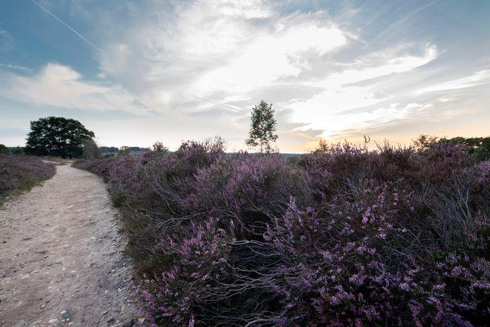 De heide kleurt weer paars op De Sallandse Heuvelrug. Mooie aanleiding om de Holtense Heidemars in aangepaste vorm toch te laten doorgaan.