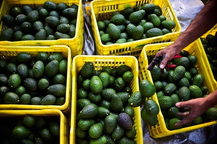 Avocado's uit Michaocán in het zuidwesten van Mexico. De prijs van de Hass-avocado, die er groeit, steeg deze week met een derde.  Beeld AFP