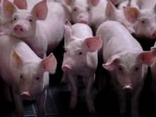 Veehouder uit Zeewolde mag geen varkens houden in buurt van veterinair instituut en eist planschade
