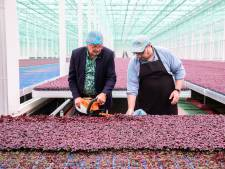 Crisisorganisatie Tuinbouw tevreden over steunmaatregelen: 'Maar er vallen nog steeds bedrijven tussen wal en schip'