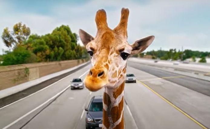 """Stanley, la girafe qui apparaît dans """"Very Bad Trip 3"""", a été saisie par les autorités californiennes."""