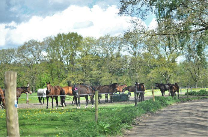 De kudde paarden van manege Quadenoord in Renkum.