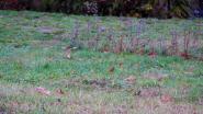 In Kuurne maken ze werk van... een gazonplan: 'voor het welzijn van de bijen en hommels'