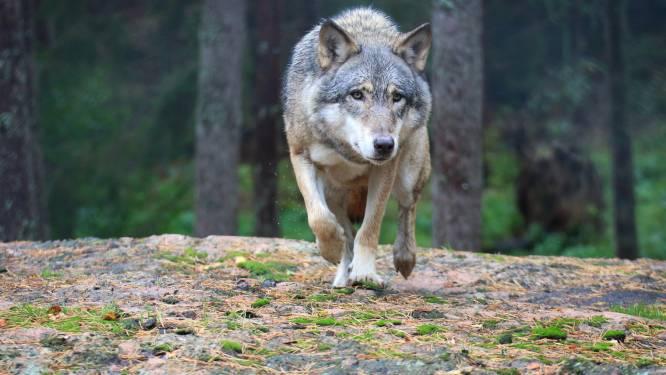 La louve Naya a tué un deuxième mouton