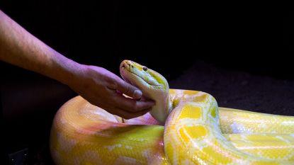 Slangentrainer van Moulin Rouge overleden na... slangenbeten